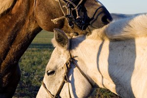 Two horses bonding with each other.