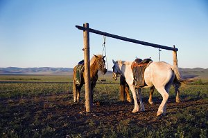 Two horses tied on the post