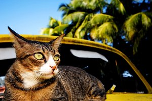 Cat relaxing on an old classic car