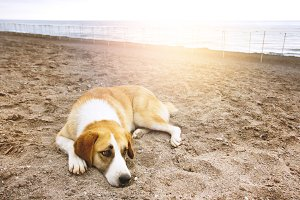 Sad dog lying on a summer beach