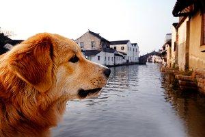 Golden Retriever in Suzhou China