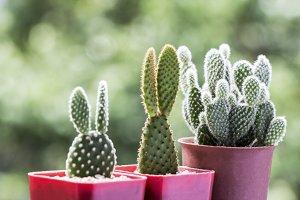 Opuntia cactus in pots