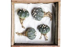 Astrophytum asterias cactus