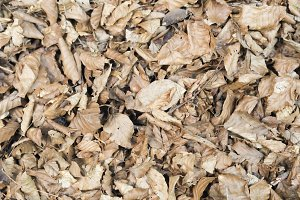 Dry leaves in a beech forest