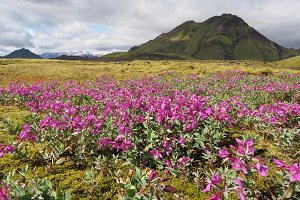 Icelandic landscape with mountains, sky and flowers