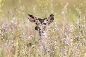 Black-tailed Deer Peeking
