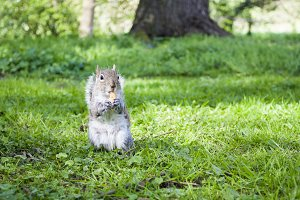 Squirrel eating on the grass