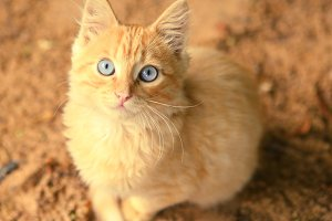 blue eyed red kitten on the sand close up