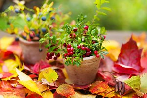 Cranberries and blueberry in pots on fall leaves