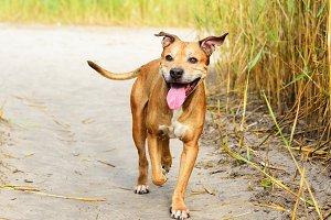 smiling redhead American pit bull
