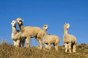 Herd of lamas in the wilderness