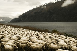 Herd of Sheeps in the scenic view