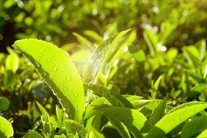 Close up of fresh tea growing