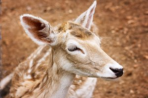 Close-up of young deer