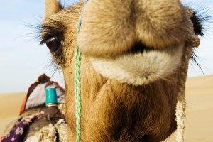 Happy camel smiling in the desert