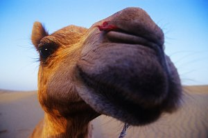 A wide angle view of a happy camel