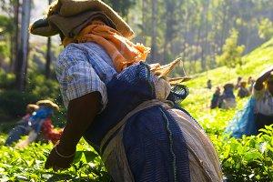 Tea pickers working at Kerela India