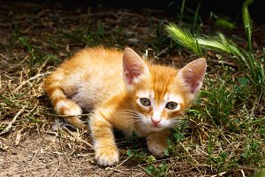 Little cute red kitten