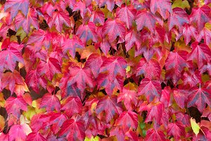 fall red leaves background
