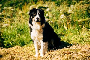 Faroe Islands Sheep Dog