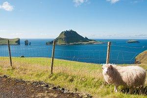 Sheep on the Faroe Islands in Summer