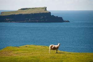 Sheep in Front of Island Panorama