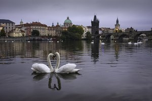 Swans in Prague