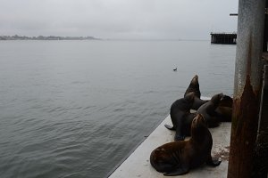 Seals in Santa Cruz