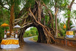 Ancient tree with road through trunk
