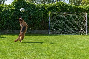 German Shepherd playing with a ball