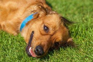 mixed spaniel dogs spaniel