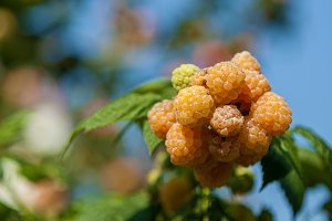 yellow berries of raspberry
