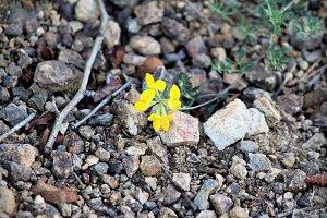 Wild Flower on Rocks