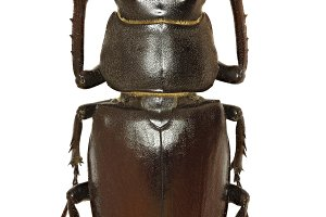 European Stag Beetle