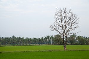 Dead trees and rice fields.