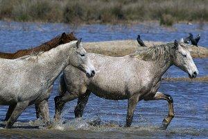 Wilds horses