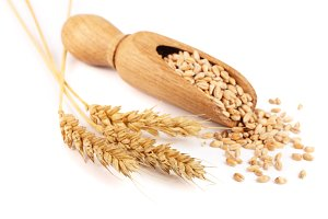 wheat spike and wheat grain in a wooden scoop isolated on white background