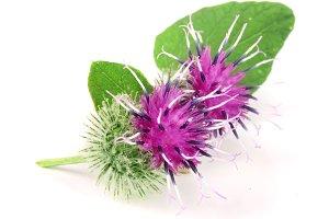 Burdock flower isolated on white background. Medicinal plant: Arctium