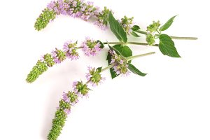 fresh peppermint herb with flowers isolated on white background