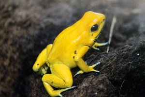 Yellow Frog, golden poison dart frog