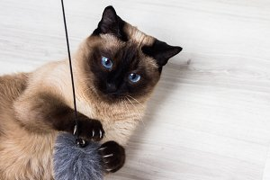Siamese cat playing with a mouse.