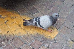 domestic pigeon bird animal