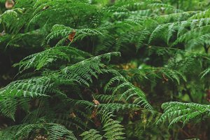 Lush Green Forest Ferns