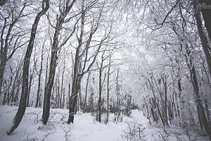 Monumental Winter Forest #2