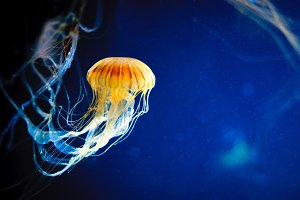 Orange jellyfish or Chrysaora fuscescens or Pacific sea nettle on blue