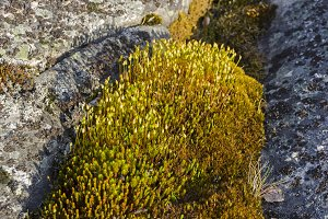 Blossoming moss on a granite rock.
