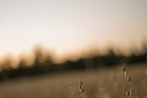 Oat Field Under an Autumn Sunset