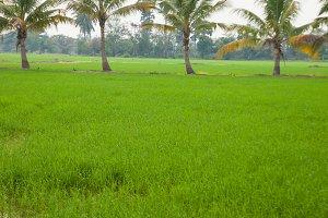 Trees in rice fields.