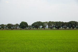 Trees in rice fields.