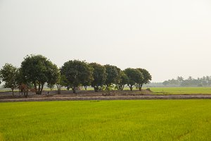 tree in rice field
